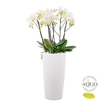 Grandi-flora 6tak Aqua Care (3dagen levertijd)