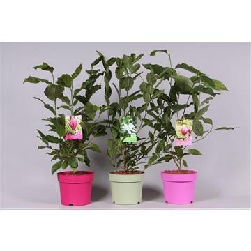 Magnolia in soorten Gekleurde pot
