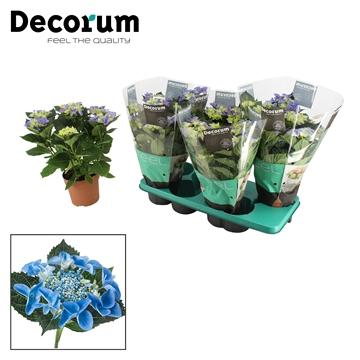 Hydrangea teller blauw 5/6 bloem