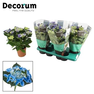 Hydrangea teller blauw 7/8 bloem
