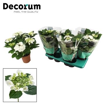 Hydrangea teller wit 5/6 bloem