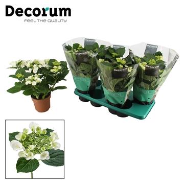 Hydrangea teller wit 7/8 bloem