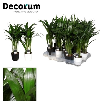 Dypsis lutescens (Areca) in Sara Black & White (Decorum)