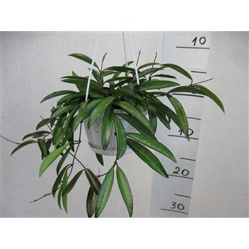 Hoya longifolia China Beans