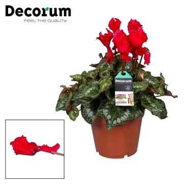 Cyclamen Halios Curly red