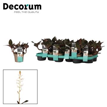 Ludisia 10,5 cm 'Discolor' Decorum