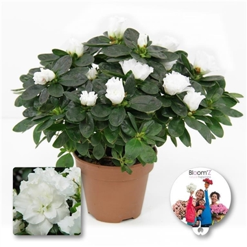 Azalea Bloom`Z, wit, P12, medium, 20-25 cm