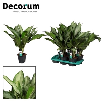 Aglaonema Cleopatra (Decorum)