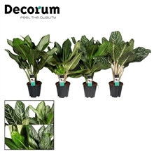 Aglaonema Royal mix (Decorum)