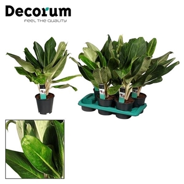 Aglaonema King Of Siam (Decorum)