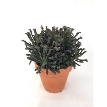 Kalanchoe Tubiflora 12cm with Clay pot