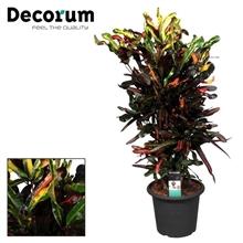 Croton Mammi vertakt in deco pot (Decorum)