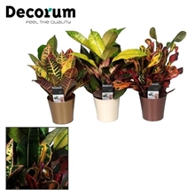 Croton kopstek mix in Linge Sierpot (Decorum)