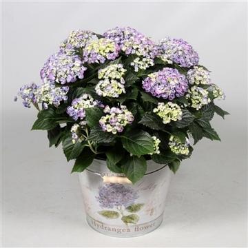 Hydrangea Curly Wurly Blue 7 - 12 kop in Bucket