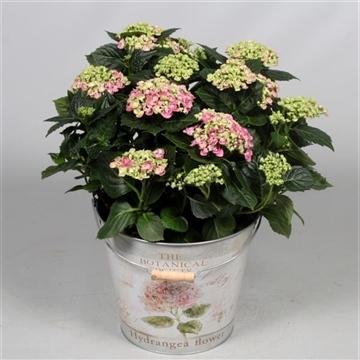 Hydrangea Curly Wurly Roze 7 - 12 kop in Bucket