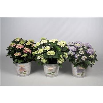 Hydrangea Curly Wurly diverse kleuren 7-12 kop in Bucket
