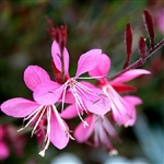 De Wilde Plant