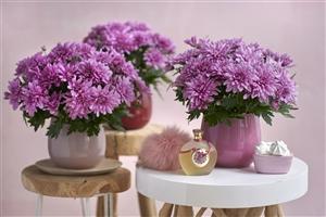 Chrysanne Grandezza Pink