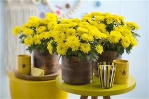 Chrysanne Grandezza Yellow -Summer vibes