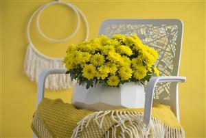 Chrysanne Grandezza Yellow - Spring vibes