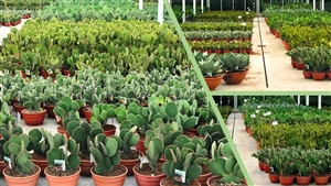 Cactus voorraad in de kas