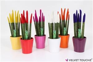 Sanseveria 12 cm Velvet Touchz® Mix 2 in Ceramic pot Witte Achtergrond