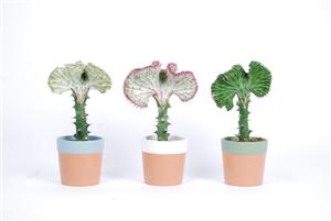 Euphorbia lactea Cristata mk Romy los