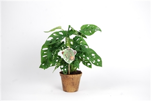 Monstera Monkey Leaf pm 12 los