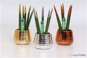 Sansevieria 6 cm Glitterz Mix Gold, Silver, Bronze in Londen pot (ribbels)