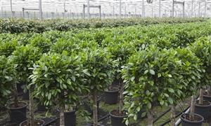 Ficus3