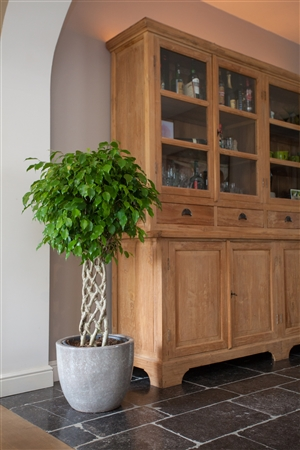 Ficus Benjamina Mat