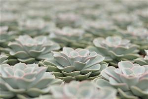 Echeveria green pearl protected ovata