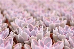 Echeveria spoon pearl protected OVATA