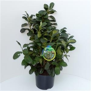 Prunus lauroceracus Etna ® C5   50 60cm   45gr   Etiket