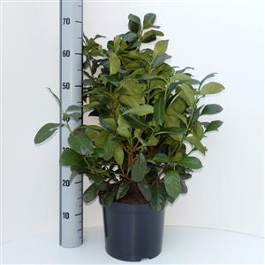 Prunus lauroceracus Etna ® C5   50 60cm   Meetlat