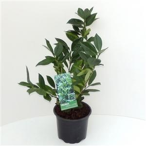 Prunus lauroceracus Green Lustre C2   30 40cm   45gr   Etiket