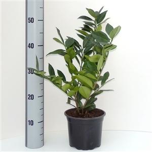 Prunus lauroceracus Green Lustre C2   30 40cm   Meetlat