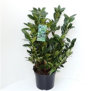 Prunus lauroceracus Green Lustre C7.5   60 80cm   45gr   Etiket