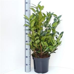 Prunus lauroceracus Green Lustre C7.5   60 80cm   Meetlat