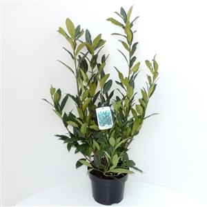 Prunus lauroceracus Herbergii C5   60 80cm   45gr   Etiket