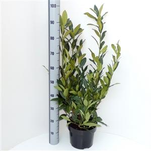 Prunus lauroceracus Herbergii C5   60 80cm   45gr   Meetlat