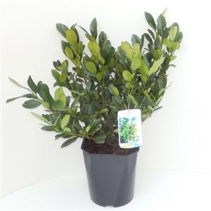 Prunus lauroceracus Mano C4.5   30 40cm   45gr   Etiket