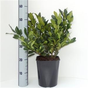 Prunus lauroceracus Mano C4.5   30 40cm   Meetlat