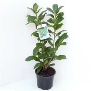 Prunus lauroceracus Novita C2   40 50cm   45gr   Etiket