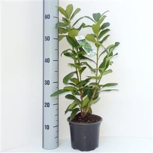 Prunus lauroceracus Novita C2   40 50cm   Meetlat   Etiket