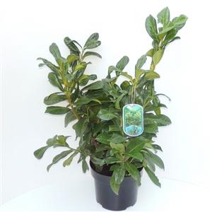 Prunus lauroceracus Rotundifolia  C5   50 60cm   45gr   Etiket