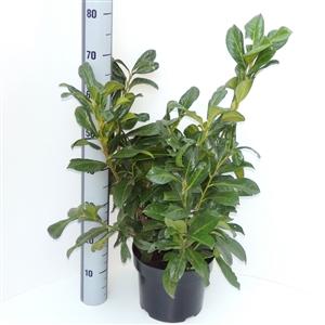Prunus lauroceracus Rotundifolia  C5   50 60cm   45gr   Meetlat