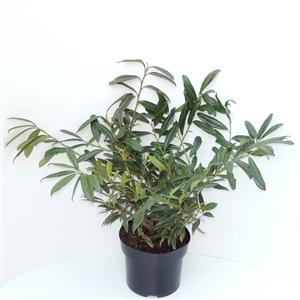 Prunus lauroceracus Zabeliana C5   30 40cm   45gr