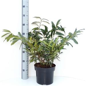 Prunus lauroceracus Zabeliana C5   30 40cm   Meetlat