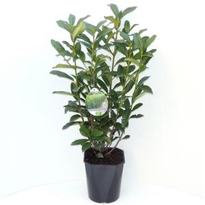 Prunus laurocerasus Genolia® C4.5   50 60cm   45gr   Etiket